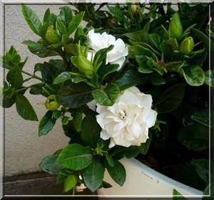 Gardenia: una planta de paz