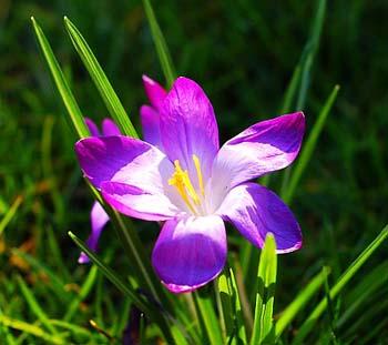 violeta1